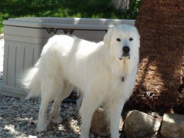 Dutch - Male Great Pyrenees (5 years)