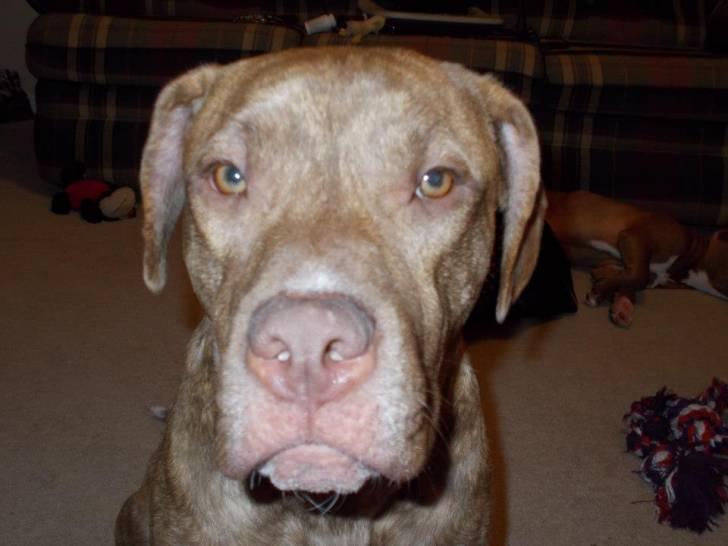 Diesel - Male American Staffordshire Terrier (2 years)