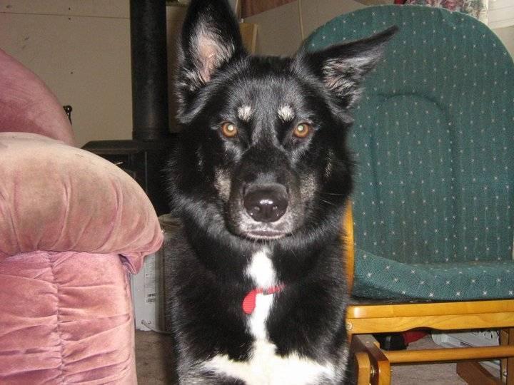 Syerra - Greenland Dog (3 years)