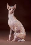 Peruvian Hairless Dog picture