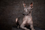 Mexican Hairless Dog picture