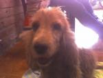 Dog Luna - Clumber Spaniel Female (1 year)
