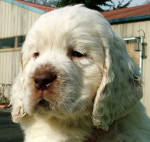 Dog Rocko - Clumber Spaniel Male (2 months)