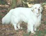 Dog Clumber Spaniel - Clumber Spaniel  (Has just been born)