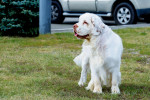 Clumber Spaniel picture