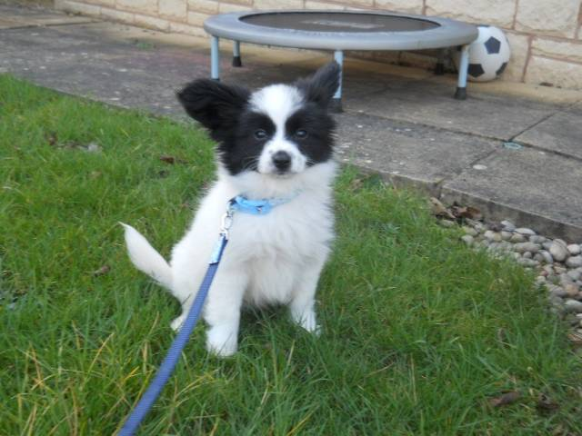miss you roly - Male Papillon (3 months)