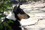 Collie picture
