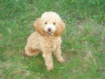 canaille caniche nain - Poodle