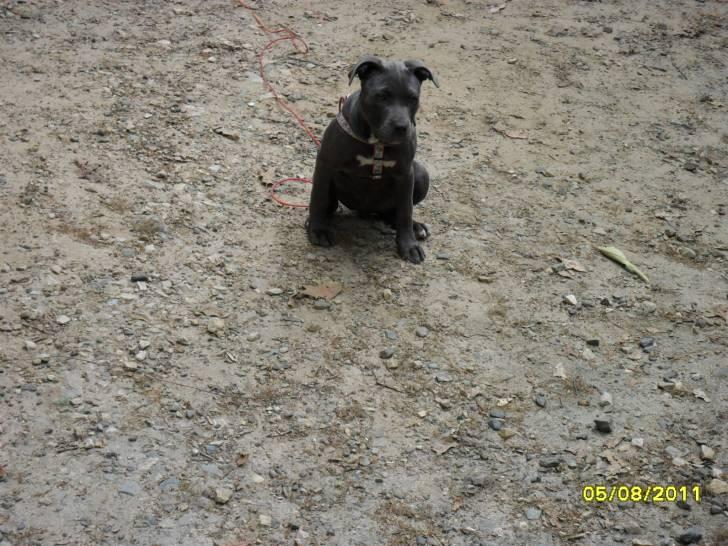 Bluebelle - Podenco Canario (6 months)