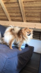 Only you (Owen) - Male German Spitz (1 year and 2 months)