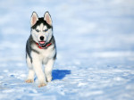 Dog  - Siberian Husky  (Has just been born)