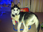Sasha - Siberian Husky (6 months)