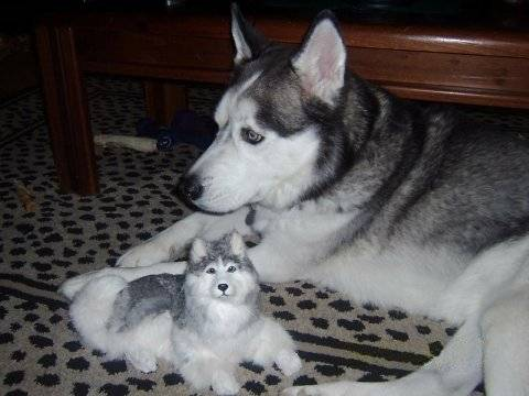 bradymat et son jouet - Male Siberian Husky (Other)