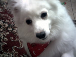 Lacey - Japanese Spitz (7 years)