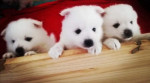 Male Japanese Spitz (1 month) picture