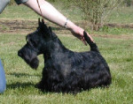 Dog SCOTTISH TERRIER  DD PASSE PARTOUT DE GLENDERRY - Scottish Terrier Male (Has just been born)