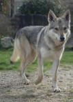 Dog BACKAL DU DOMAINE DE LA COMBE NOIRE FEMELLE - Czechoslovakian Wolfdog  (0 months)
