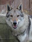 Dog Cash - Czechoslovakian Wolfdog  (0 months)