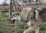 Dog Cash - Etalon - Czechoslovakian Wolfdog  (0 months)