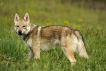 Dog CHILI DU DOMAINE DE LA COMBE NOIRE - Czechoslovakian Wolfdog  (0 months)