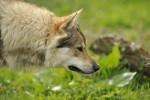 Dog VAICKO PASSO DEL LUPO - Czechoslovakian Wolfdog  (0 months)