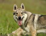 Dog YENCO  DU DOMAINE DE LA COMBE NOIRE - Czechoslovakian Wolfdog  (0 months)