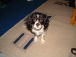 Polly - Cavalier King Charles Spaniel (7 years)