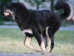 Dog Zodd - Tibetan Mastiff Male (5 months)