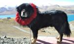 Dog  - Tibetan Mastiff  (Has just been born)