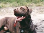 Dog  - Labrador Retriever  (Has just been born)