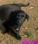 ibiza - Labrador Retriever (2 months)