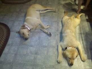 Lily and Tucker - Labrador Retriever (1 year)