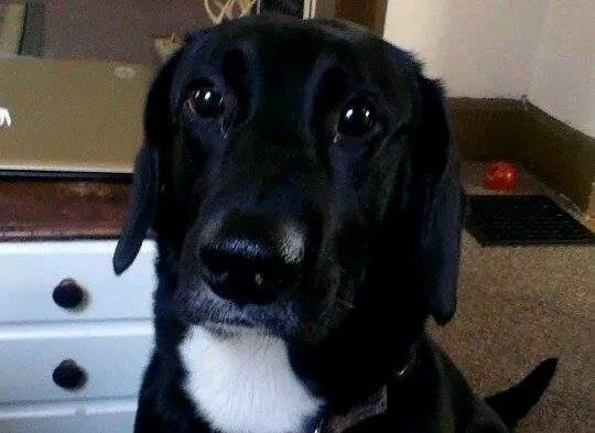 Lady - Labrador Retriever (3 years)
