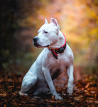 American Pit Bull Terrier picture