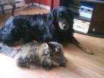 poupoune et ma chatte - Bernese Mountain Dog (8 years)