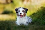 Miniature Australian Shepherd picture