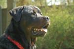 Dog  - Rottweiler  (Has just been born)