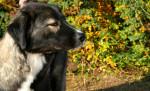 Carpathian Shepherd Dog picture