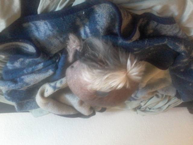 Candy/Candle in the Wind - Chinese Crested Dog (6 years)