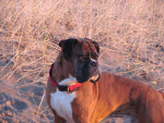 Dog  - Boxer  (Has just been born)