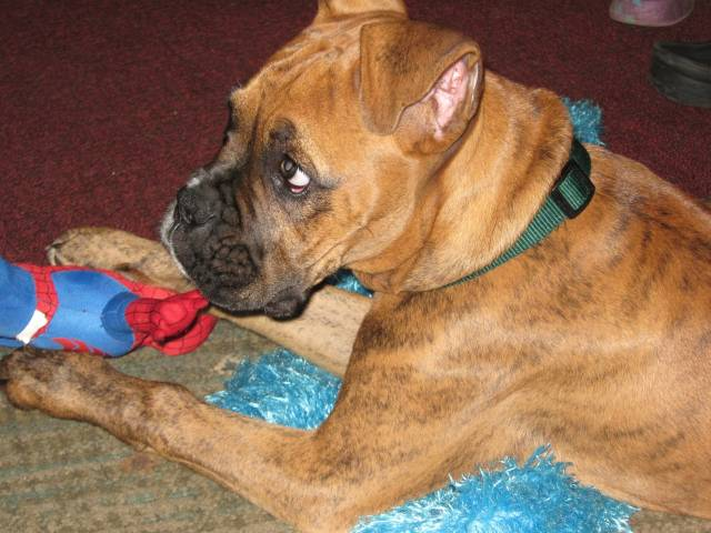 joxer - Male Boxer (3 years)