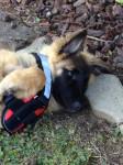 Dog Harko des Pistes Noires à 4 mois - Groenendael Belgian Shepherd  (4 months)