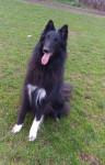 Dog Gajeel des Perles Noires - Groenendael Belgian Shepherd Male (4 years)