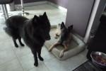 Dog Looky - Groenendael Belgian Shepherd Male (1 year)