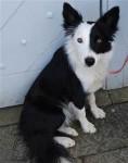 Fly - Border Collie (6 months)
