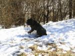 Dog Fesses dans la neige - Cane Corso  (Has just been born)