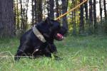Dog  - Cane Corso  (Has just been born)