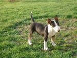 Gladiateur - Male Bull terrier (3 months)