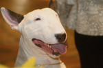 Bull terrier picture