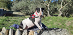 pipa - Male Bull terrier (6 years and 1 month)